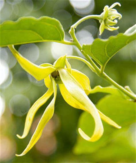 Minyak Ylang Ylang flora fauna indonesia kenanga