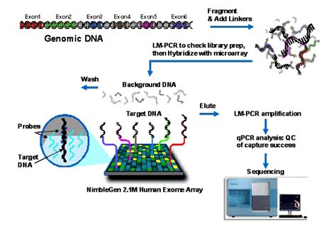 exome sequencing illumina illumina whole exome sequencing related keywords
