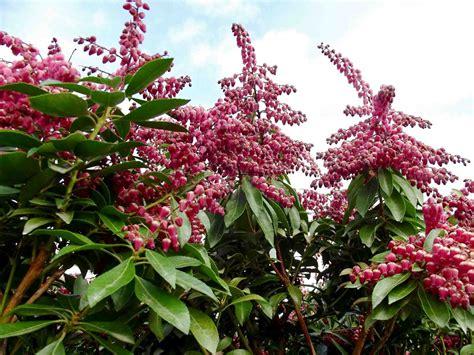plant nursery pieris japonica valley is