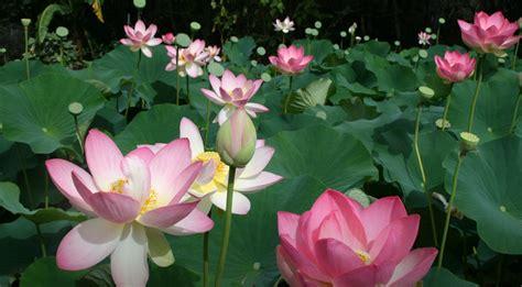 Lotus Flower Garden Lotus Flower Season