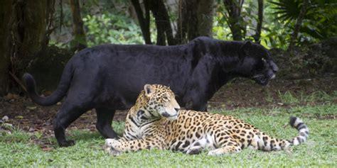 imagenes de jaguares mayas el jaguar se 209 or de america lunes de enfoque adalberto mx