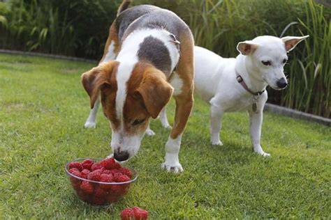 raspberries for dogs raspberries for dogs 101 can dogs eat raspberries