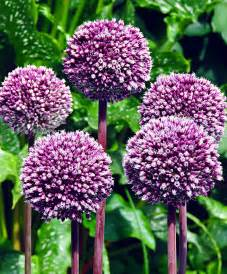 Allium summer drummer flower bulbs from bakker com