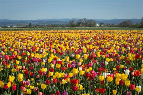 tulip field image gallery tulip fields