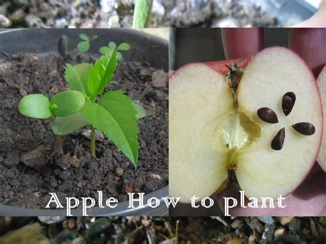 how to plant apple seeds in a pot youtube