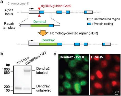 Endogenous Labeling Of Pol Ii With Dendra2 Via Crispr Cas9 Mediated Download Scientific Diagram Crispr Repair Template