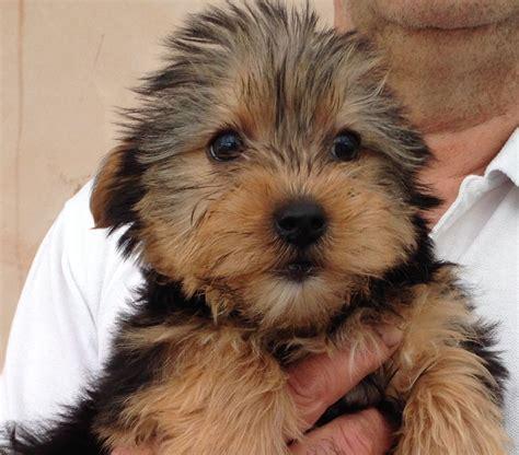 yorkie sale yorkie terriers for sale