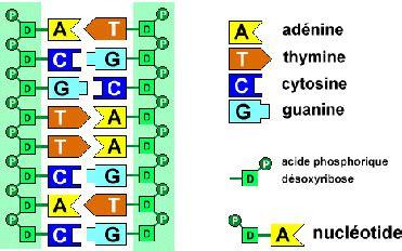 cantidad de cadenas del adn el mundo cient 205 fico 193 cidos nucleicos adn 193 cido