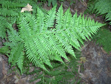 lady fern plants learn how to grow a lady fern