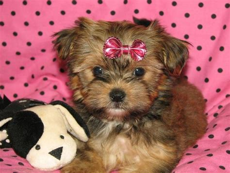 yorkies for sale in chicago 33 best shorkie images on doggies cubs and pup