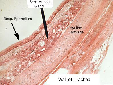 yorkie trachea problems white deer anatomy trachea fish oils for dogs with