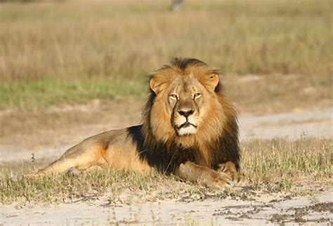 subspecies  lion   added   endangered