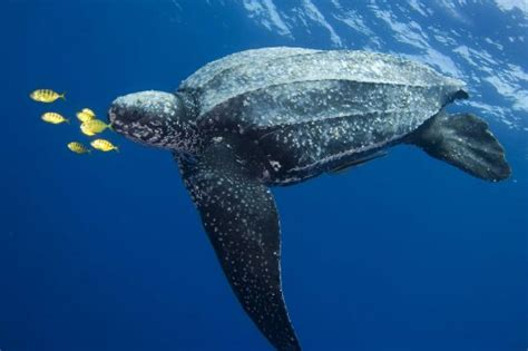 Spare Room by Scubazoo Blog Leatherback Turtle Shoot In Kei Indonesia