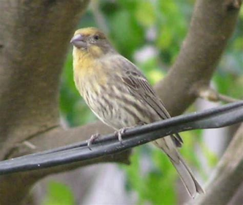 yellow house finch works of the creator an all