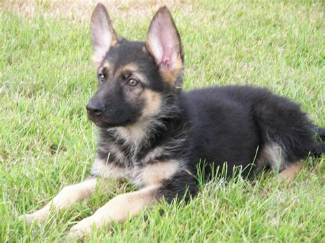 shepherd puppies for sale german shepherd puppies for sale bridgend bridgend pets4homes