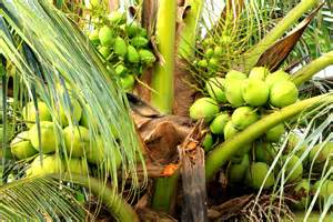 Indoor Herbal Garden - vital coconut greenmylife anyone can garden
