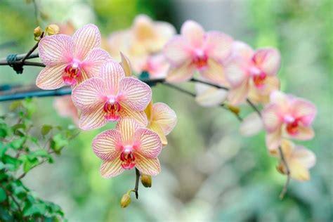 potatura orchidee in vaso suggerimenti per la coltivazione orchidee in vaso