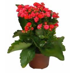 kalanchoe red flowered c12 buy kalanchoe red flowered