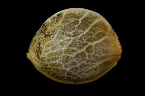 semillas de marihuana interior semillas de marihuana autofloreciente interior cbd