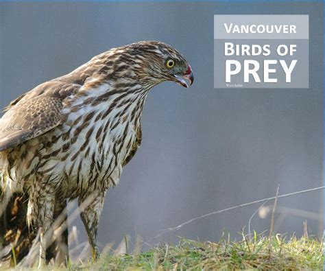 2nd edition vancouver birds of prey by wes aslin arts