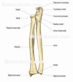 Radius by Radius And Ulna Anatomy Study Buddy