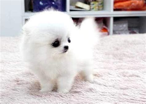 white fluffy teacup pomeranian puppies teacup pomeranian for adoption uk white carpet with puppy black nose puppy