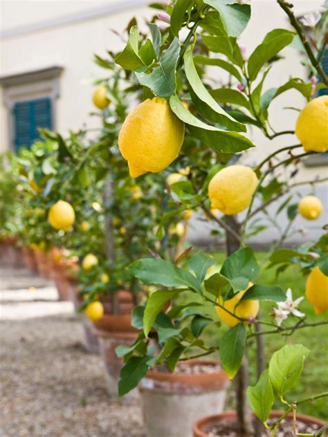 home fruit trees growing fruit trees in containers hgtv