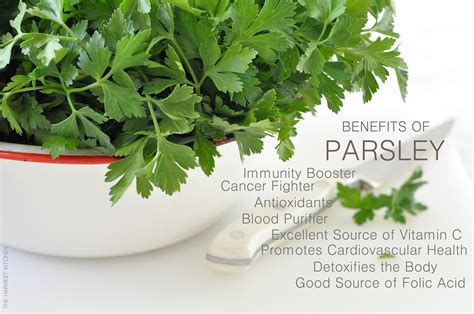 Parsley Detox Side Effects by Benefits Of Parsley