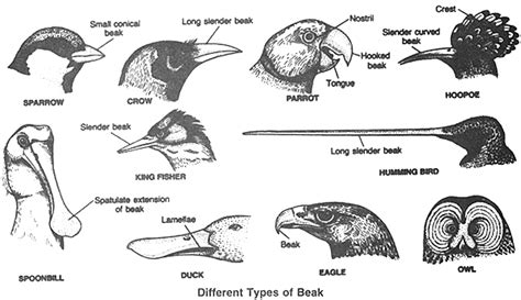 types of beaks organic pinterest