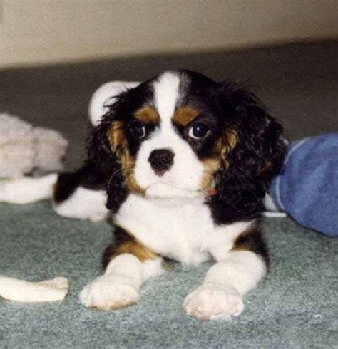 st charles puppy st charles cavalier dogs zoe fans baby animals pinter