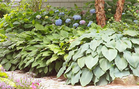 hosta plants planting care and pest advice new england today