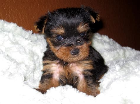 yorkie puppies near me terrier puppies near me for sale pictures of yorkie litle pups