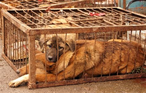 yulin festival in china dogs www pixshark images galleries with a bite