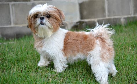 shih tzu illinois le shih tzu caract 232 re origine conseil d 233 levage et sant 233