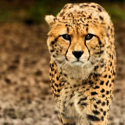 imagenes de animales rapidos los 10 animales m 225 s r 225 pidos del mundo