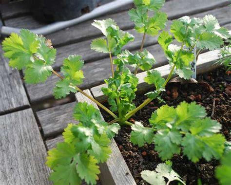 growing cilantro how to grow cilantro planting cilantro