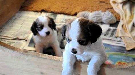 kooikerhondje puppies kooikerhondje puppies 6 weeks litter ayan