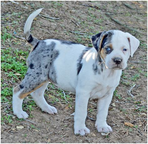 catahoula hound puppies catahoula bulldog breeders puppies pictures facts