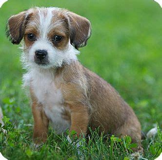 big sky shih tzu tito adopted puppy providence ri shih tzu chihuahua mix