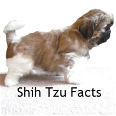shih tzu information and facts shih tzu puppies for sale in ne ohio cleveland akron
