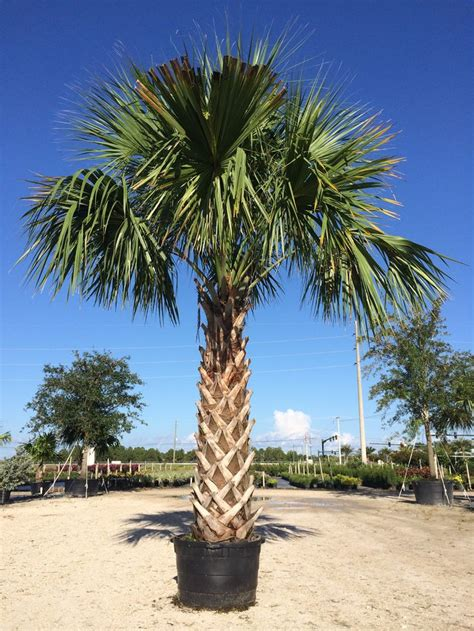 planting fan palm trees 91 best images about buy cold hardy palm trees on