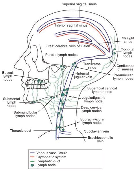 lymphatic drainage system diagram the glymphatic lymphatic continuum opportunities for
