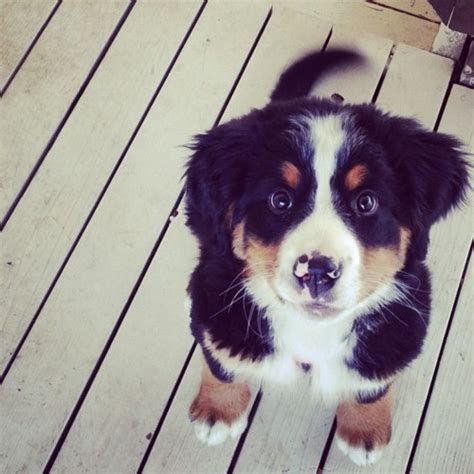 bernese mountain puppies cost the friends a collection of ideas to try about animals and pets