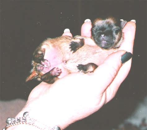 premature puppies preemie puppies