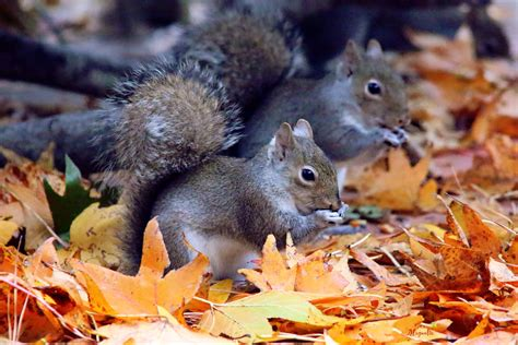 libro animal seasons squirrels autumn autumn s squirrels by fallout99 on
