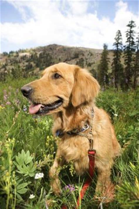 golden retriever behaviour problems goldendoodle puppy behavior care the daily puppy