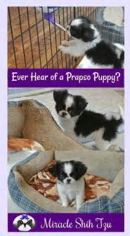 prapso shih tzu shih tzu prapso puppies what are they