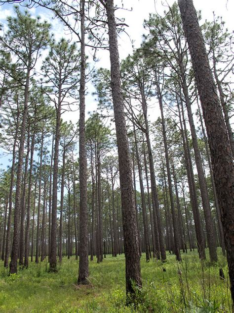 Trees Nc - what time is it in nature longleaf pine nc museum of