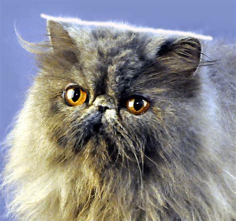 Sho Kucing Dan Harga harga kucing ras anggora info kucing
