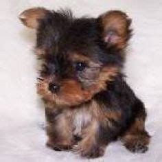 find a yorkie puppy 1000 images about sit stay teacup miniature terrier on teacup